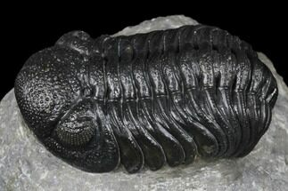 "Buy 2.25"" Detailed Morocops Trilobite - Ofaten, Morocco - #174763"