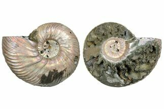"2.55""  One Side Polished, Pyritized Fossil, Ammonite - Russia For Sale, #174986"