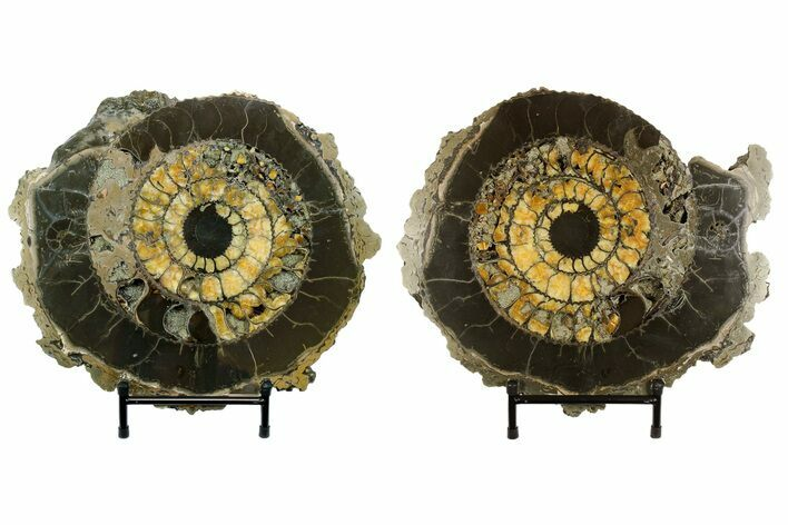 "14.4"" Cut & Polished Ammonite (Speetoniceras) Fossil With Druzy Pyrite"