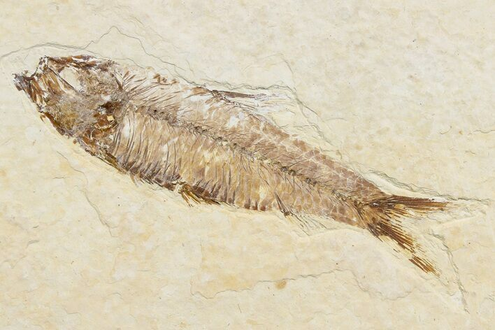 "3.6"" Detailed Fossil Fish (Knightia) - Wyoming"