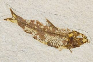"Buy 3.55"" Detailed Fossil Fish (Knightia) - Wyoming - #174661"