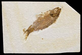 "4"" Detailed Fossil Fish (Knightia) - Wyoming For Sale, #174704"