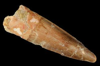 "Buy 1.8"" Spinosaurus Tooth - Real Dinosaur Tooth - #174766"
