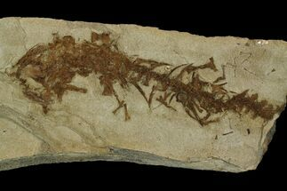 "4.25"" Partial, Fossil Salamander (Chelotriton) - Gracanica, Bosnia For Sale, #175088"