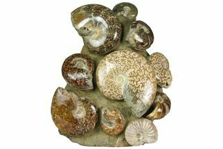 "7"" Tall, Composite Ammonite Fossil Display - Madagascar For Sale, #175805"