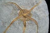 Large Starfish/Brittle Star Fossil From Morocco - #1938-1