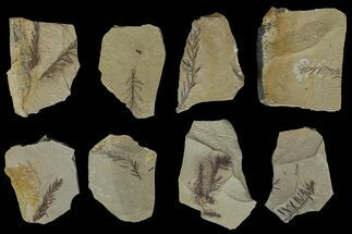 Small Dawn Redwood (Metasequoia) Fossils - Montana For Sale, #176294
