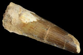 "2.6"" Spinosaurus Tooth - Real Dinosaur Tooth For Sale, #176696"