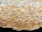 Agatized Dinosaur Bone - Polished - #11451-1