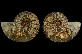 Cleoniceras sp. - Fossils For Sale - #169011