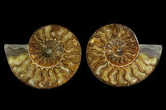 Cleoniceras sp. - Fossils For Sale - #169014