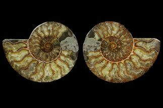 Cleoniceras sp. - Fossils For Sale - #169017