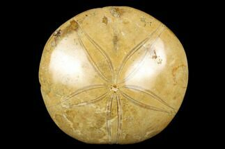 "Buy 3.4"" Polished Fossil Sand Dollar (Mepygurus) - Jurassic - #176491"