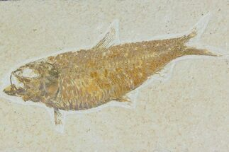 "Buy 4.6"" Detailed Fossil Fish (Knightia) - Wyoming - #177364"