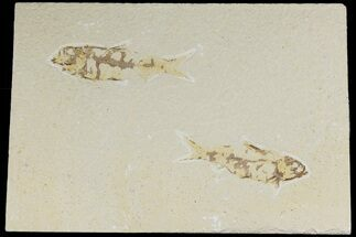 Buy Two Detailed Fossil Fish (Knightia) - Wyoming - #177322