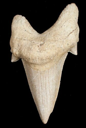 "Large 3"" Otodus Shark Tooth Fossil"