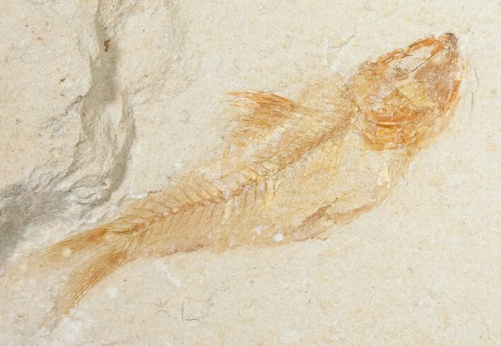 "Orange 1.8"" Armigatus Fossil Fish - Lebanon"