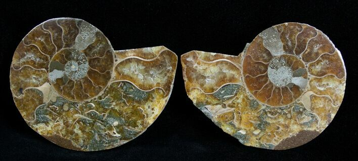 2 1/4 Inch Polished Ammonite (Pair)
