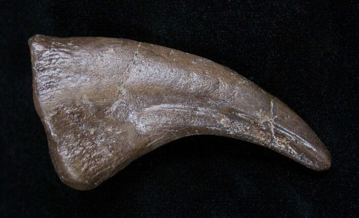 Awesome Hell Creek Oviraptor (Chirostenotes) Claw