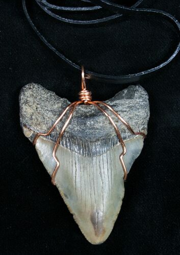 "2.3"" Megalodon Tooth Necklace"