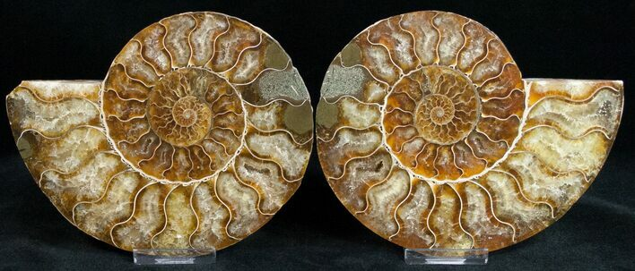"Bargain 5.6"" Polished Ammonite Pair"