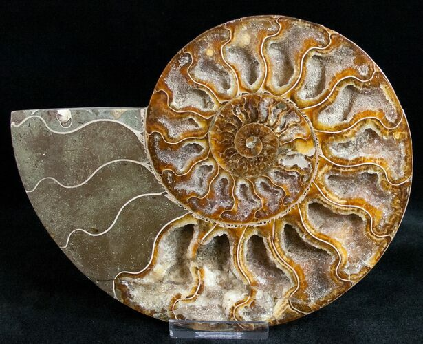 "5.9"" Ammonite Fossil (Half) - 110 Million Years"
