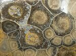 "4.6"" Polished Fossil Coral Head - Morocco - #12128-2"