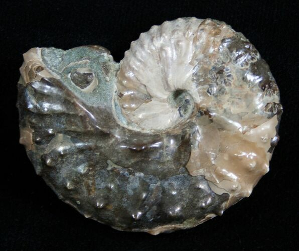 1.81 Inch Discoscaphites Ammonite - South Dakota