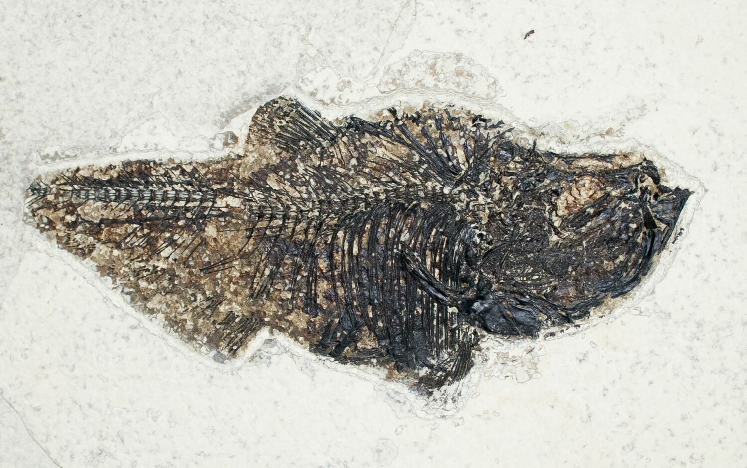 Two large diplomystus fossil fish wyoming for sale for Fish fossils for sale