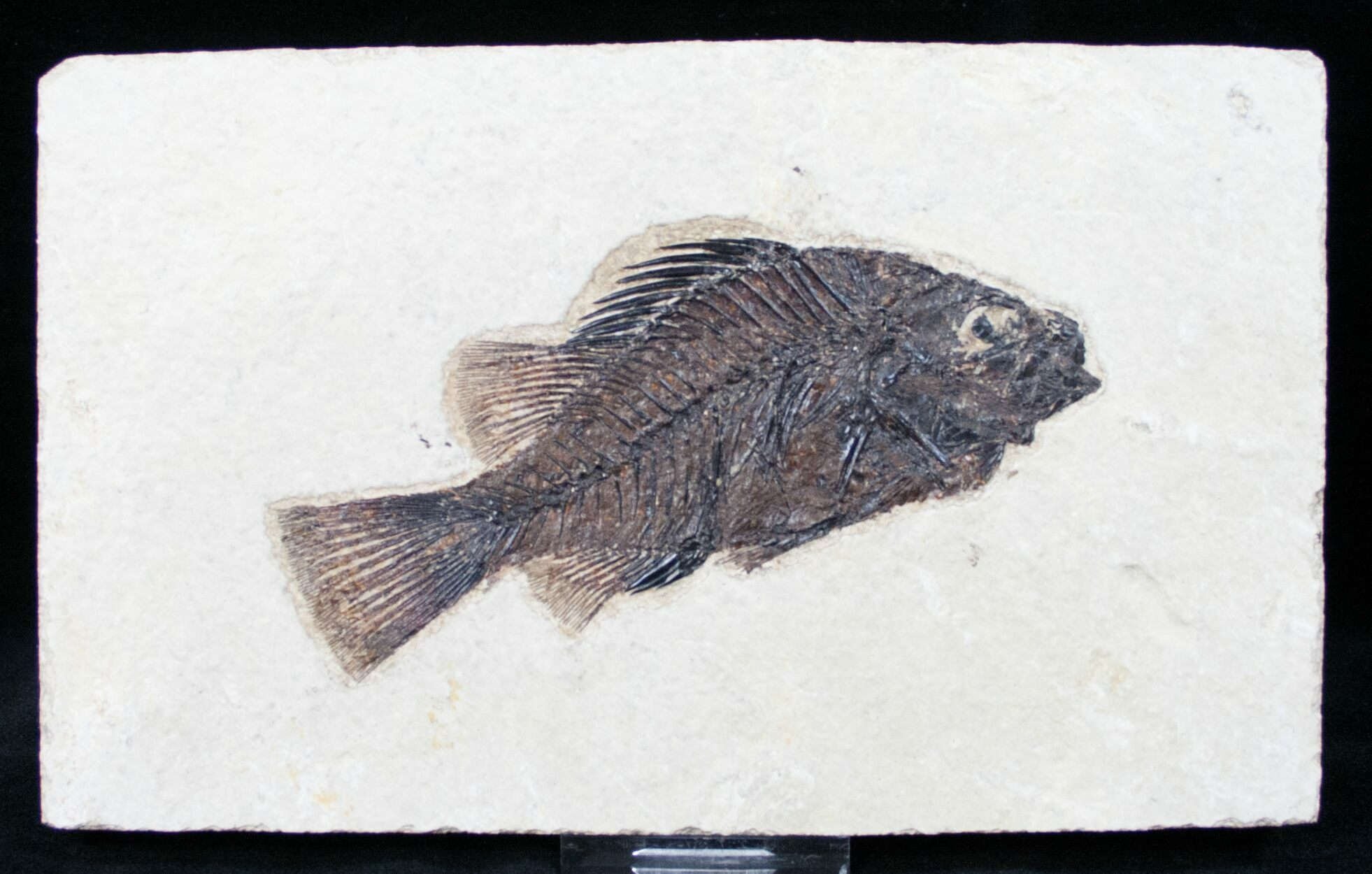 Excellent 4 2 priscacara fossil fish wyoming for sale for Fish fossils for sale