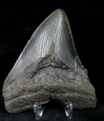 "Bargain 3.68"" Fossil Megalodon Tooth - Georgia"