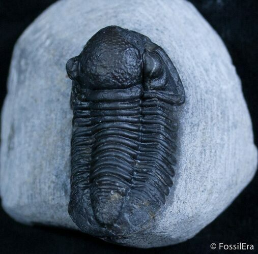 Very 3D Gerastos Trilobite From Morocco