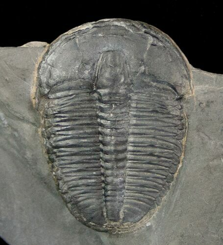"1.15"" Elrathia Trilobite In Matrix - Utah"