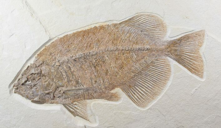 "Detailed, 13.8"" Phareodus Fish Fossil - Wyoming"