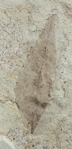 Detailed Fossil Sumac Leaf - Green River Formation