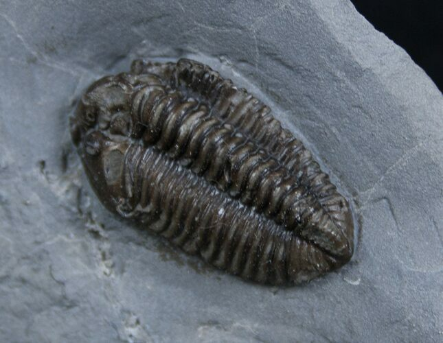 Very Inflated New York Calymene Trilobite
