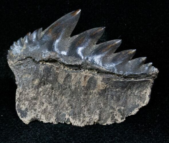 Fossil Cow Shark (Notorynchus) Tooth - South Carolina