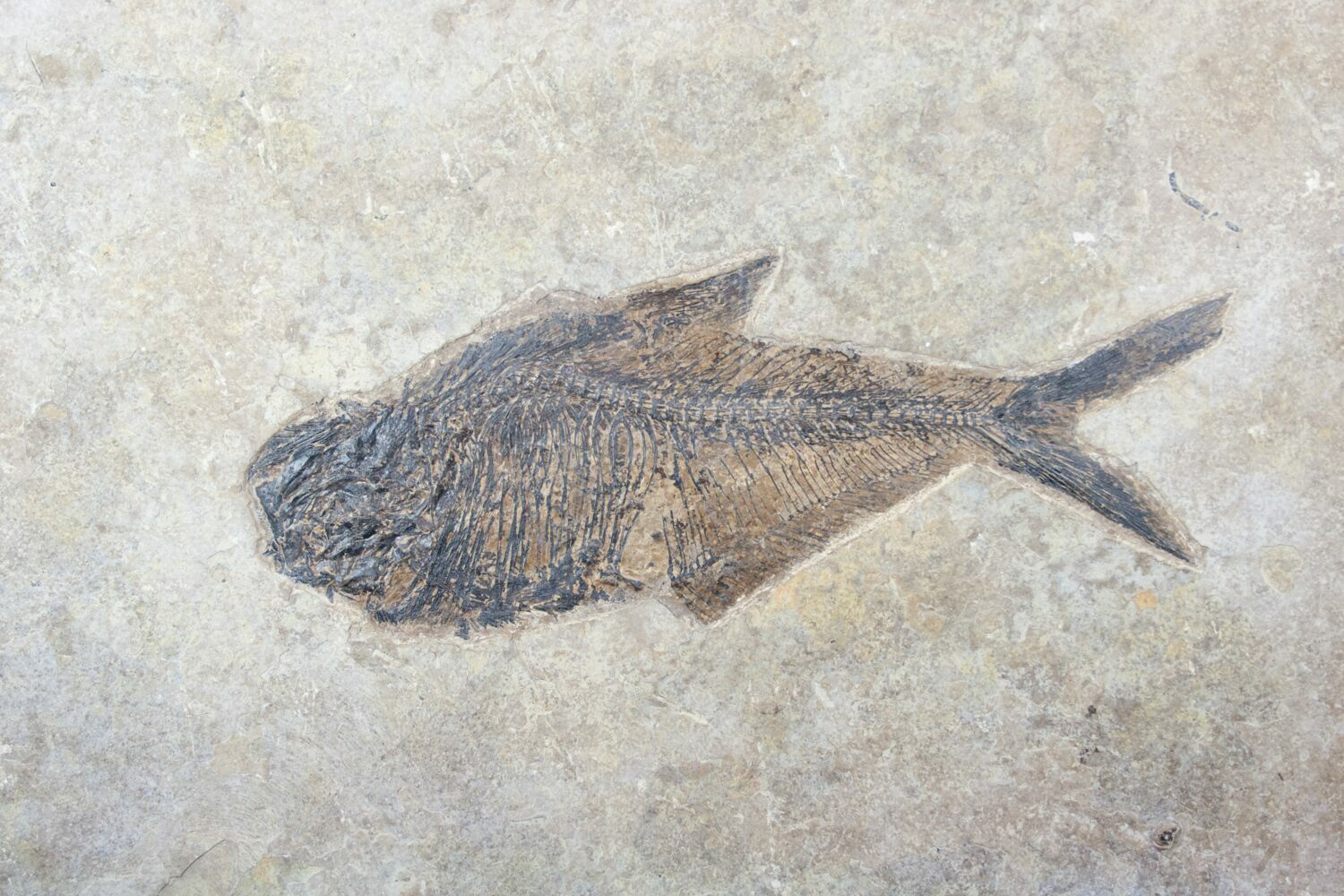 Large 10 5 diplomystus fossil fish frameable for sale for Fish fossils for sale