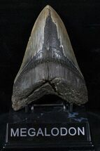 "Buy Bargain 5.07"" Lower Megalodon Tooth - #13267"