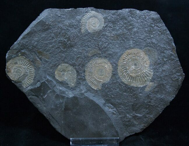 Great Plate Of Dactylioceras Ammonites