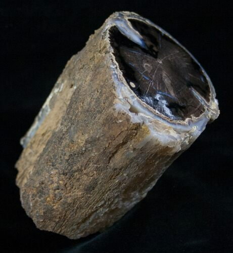 Polished Blue Forest Petrified Wood Limb (1-1/2 lb)