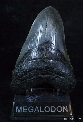 6.12 Inch Black Megalodon Tooth - Monster