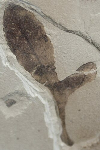 Balloon Vine Leaf Fossil - Green River Formation