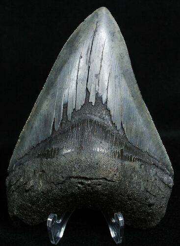 3.91 Inch Black Georgia Megalodon Tooth