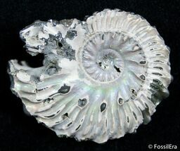 1.3 Inch Wide Euhoplites Ammonite - England For Sale, #2393