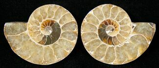 "Small Desmoceras Ammonite Pair - 1.3"" For Sale, #15038"