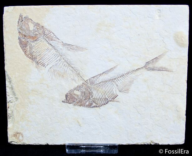 Double Diplomystus Fossil Fish Plate