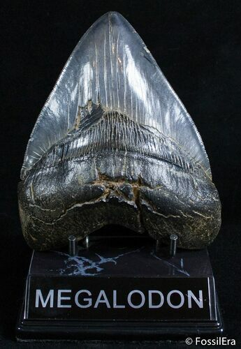 Fat 5.13 Inch Beaufort, SC Megalodon Tooth