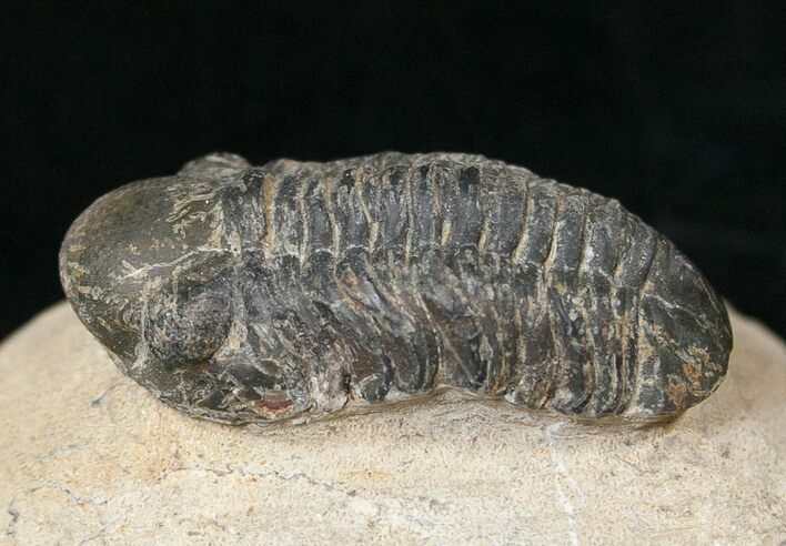 "Bargain Reedops Trilobite Fossil - 1.49"" Long"
