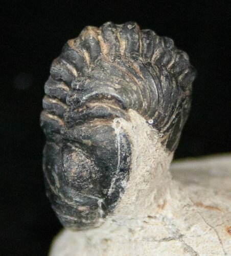 "Bargain Reedops Trilobite Fossil - 1.6"" Long"
